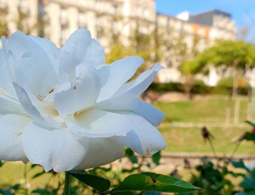 Une leçon de taille des rosiers le 24 mars dans le Parc thermal !